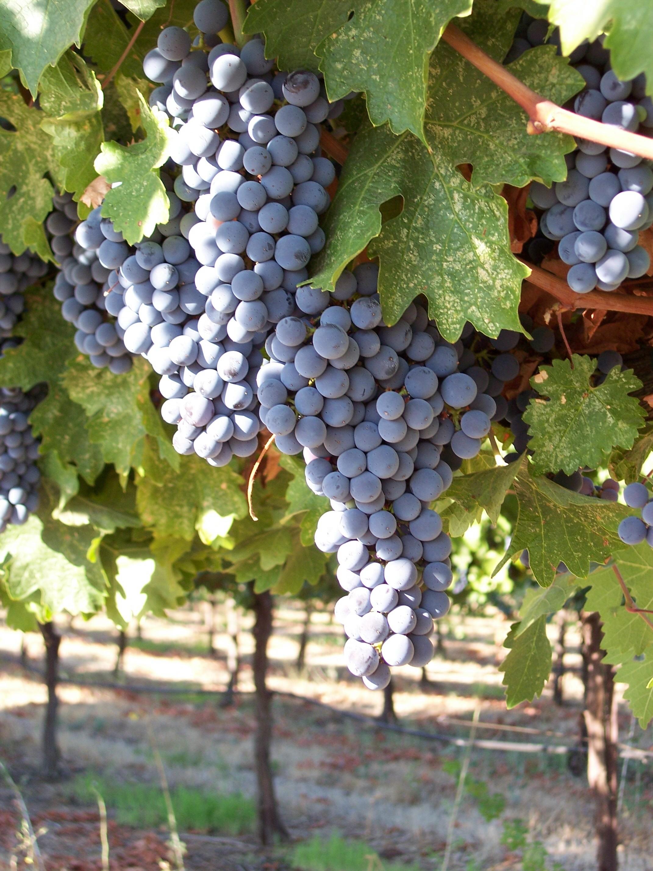 Grapes 8-2-04