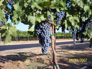 Harvest 2007 001