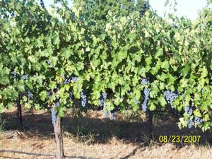 Harvest 2007 002