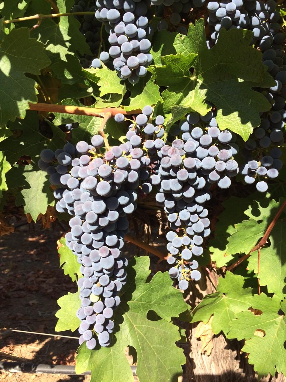 2015 Harvest 7-28-15 01